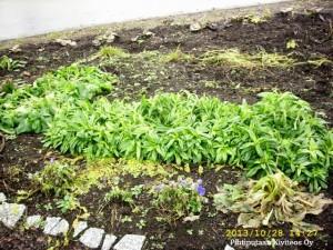 Harjaneilikat eivät ensimmäisiä pakkasia ja lunta säikähtäneet. Myös orvokit jaksavat kukkia edelleen.