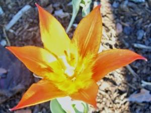 Syksyllä istutettu tulppaani kukkii!