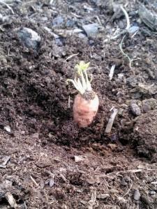 Enpä ollutkaan ennen porkkanoita istuttanut...