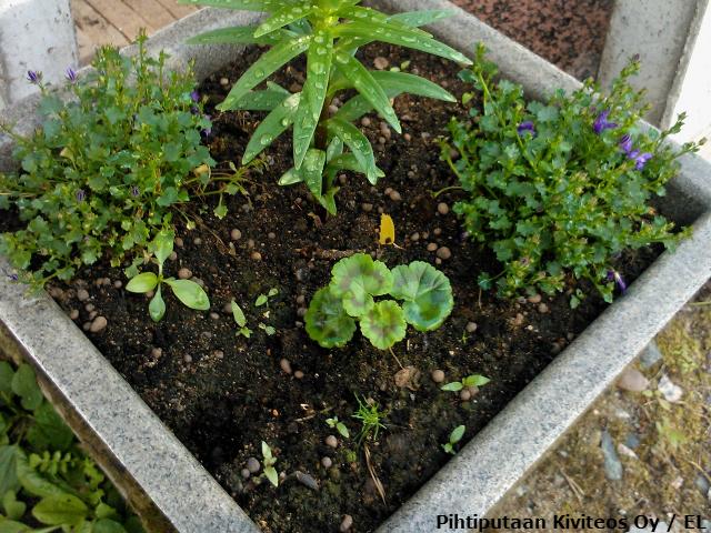 Pelargonian taimi