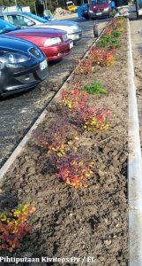 Koivuangervon taimet toivat hieman ruskaväriä parkkialueelle.